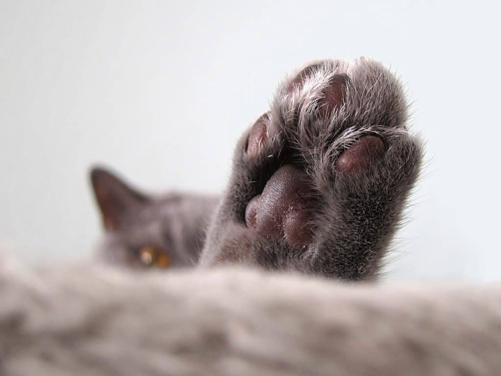 Close photo of a cat's paw