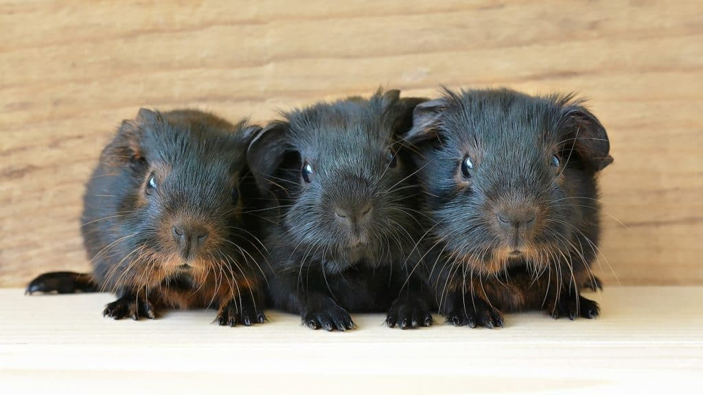 Guinea pigs are considered exotic pets