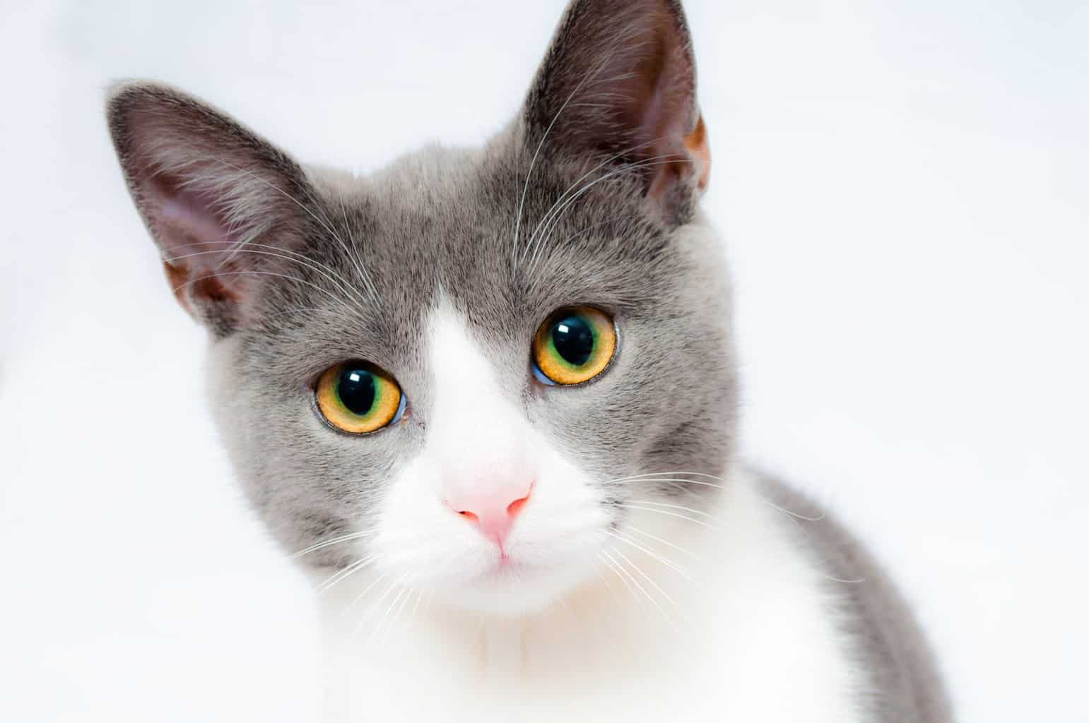 Grey and white cat against white background