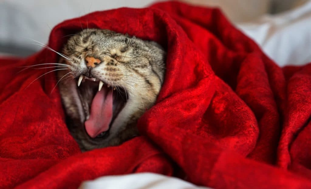 Cat wrapped in a blanket showing its tongue and teeth