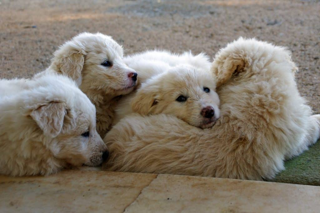 Dogs sleeping in a pile