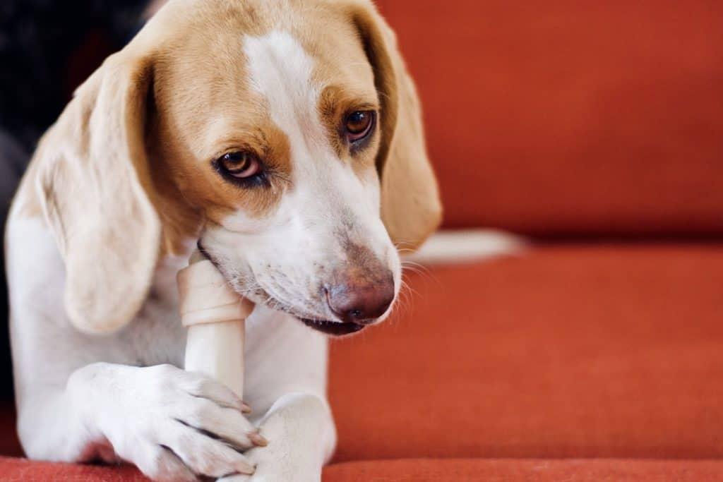 Dog eating a bone