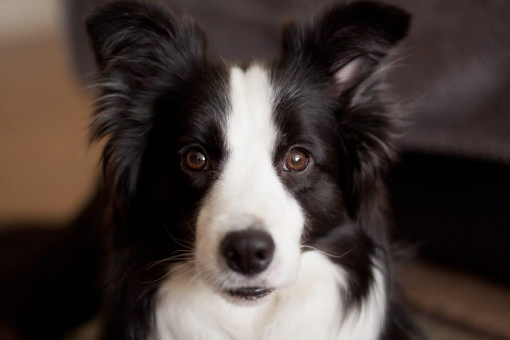 A long-coated dog staring directly